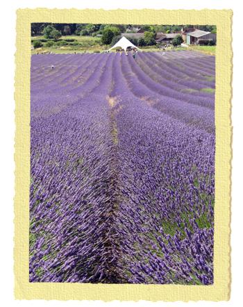 מרבצי הלבנדר של חוות קדוול באנגליה