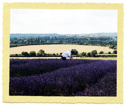 שדה לבנדר - ארבעים דקות ברכבת מחות ללונדון