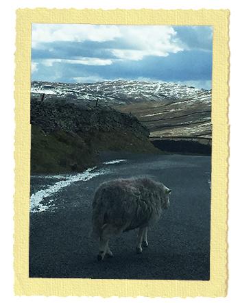 כבשים בלייק דיסטריקט בצפון אנגליה
